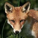 Red Fox / None Captive by snapdecisions