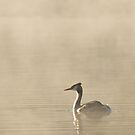 Great Crested Grebe by mickeyb