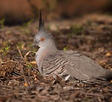 good evening Crested Pigeon by mosaicavenues