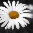 Daisy by RockyWalley