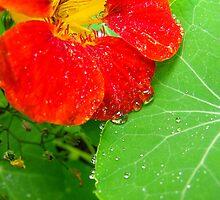 Nasturtium In The Herb Garden by illman