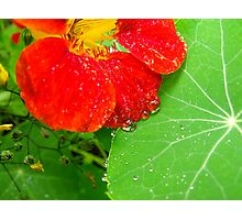 Nasturtium In The Herb Garden Photographic Print