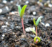 swiss chard seedling by yorkitator