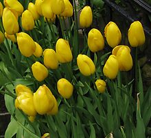 Yellow Tulips by Betty Mackey