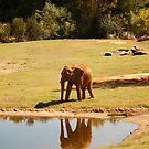 Elephant's Reflection! by vasu
