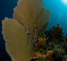 Seafan & Reef Scene by Todd Krebs