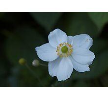 Wildflower - white- Eastern Sierra Photographic Print