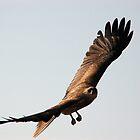 Soaring Kite Bird  by AJM71
