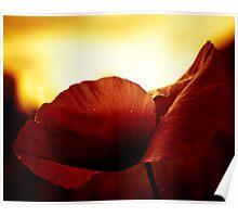 Golden Glow Poppie Poster