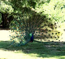 lyre bird by fazza
