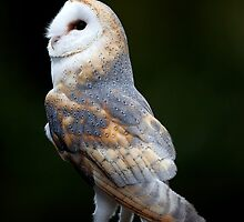 Barn Owl by Norfolkimages
