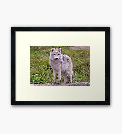 They're Growing - Arctic Wolf Pups  Framed Print