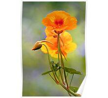 Spring - Nasturtium Poster