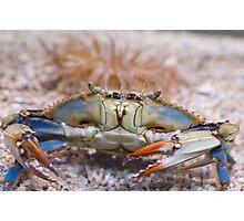 Atlantic Blue Crab Front Photographic Print
