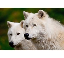 Arctic Wolf Pair Photographic Print