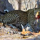 Dinner Interrupted - Leopard (Panthera Pardus) by Jim O'Rourke