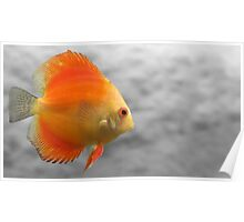 Melon Discus Fish Poster
