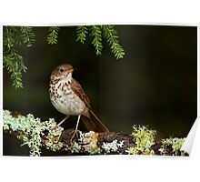 Hermit Thrush perching pretty Poster