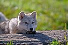 Arctic Wolf Pup by Michael Cummings