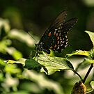 Butterfly Loaded With Pollen by Rick  Friedle