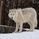 Arctic Wolf in Snow by Michael Cummings