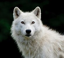 Arctic Wolf Portrait by Michael Cummings