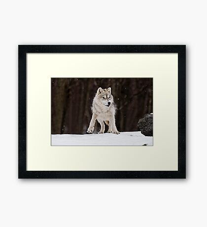 Arctic Wolf in Snow Framed Print