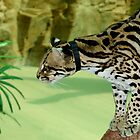 Ocelot at Naples Zoo 2 by Sheryl Unwin