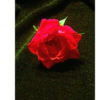 "a fallen ""Rose"" Photographic Print"