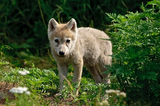 Arctic Wolf Pup - Update by Michael Cummings