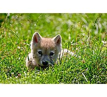 If they could only stay so young - Arctic Wolf Pup Photographic Print
