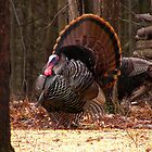 Turkey In Full Bloom by marilynwood