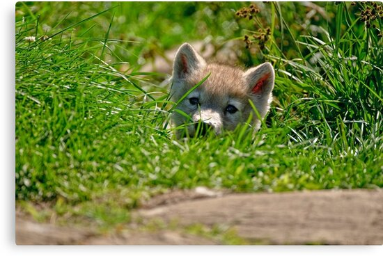Who Me?? Arctic Wolf Pup by Michael Cummings
