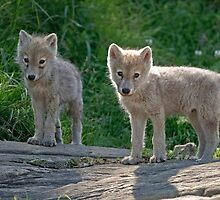 Arctic Wolf Pups  by Michael Cummings