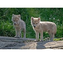 Arctic Wolf Pups  Photographic Print