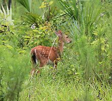 Wekiwa State Park August Fawn by kevint