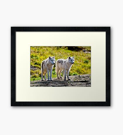 Pair of Arctic Wolves - Montebello, Quebec  Framed Print