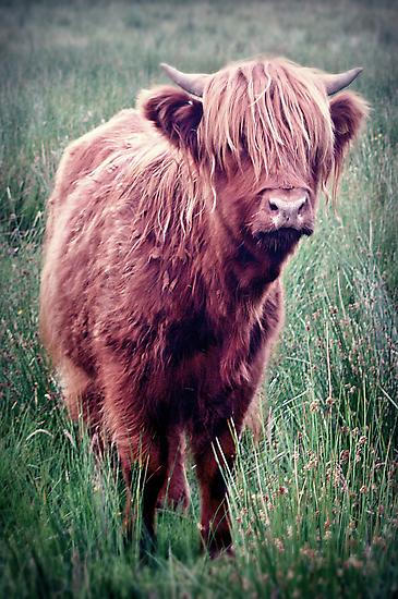 Highland Cow, Scotland. by Aj Finan