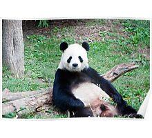 Giant Panda Resting Poster