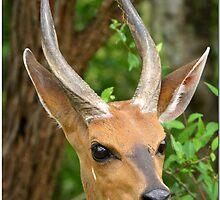 Mr Elegant - Bushbuck male by CraigSev