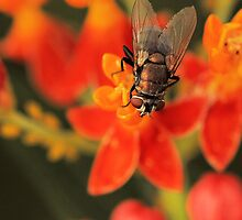 Fly on Butterfly Weed by sunrisern
