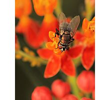 Fly on Butterfly Weed Photographic Print