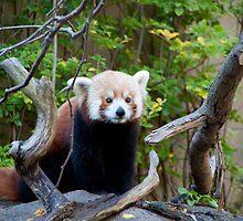 Red Panda by Carol Bock