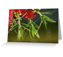 Callistemon (Bottlebrushes) Greeting Card