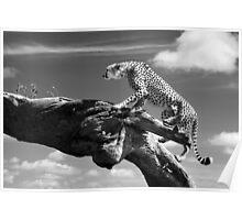 Cheetah climbing a log Poster
