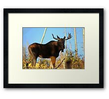Fall Bull Moose  Framed Print