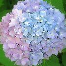 Multi-Colored Hydrangea by kkphoto1