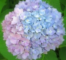 Multi-Colored Hydrangea by kkphoto1