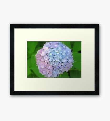 Multi-Colored Hydrangea Framed Print