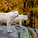Arctic Wolves On Rocks by Michael Cummings